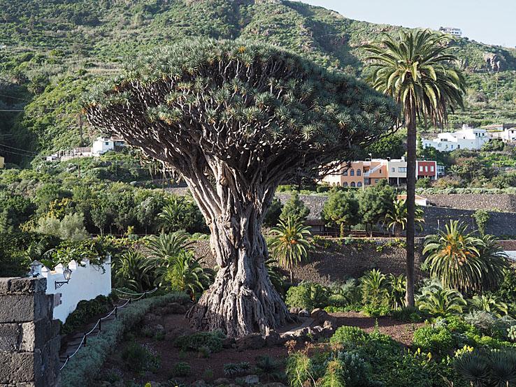 Det 1 000 åriga drakträdet. Icod de los Vinos