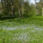 Fält med förgätmigej. Mariehamn