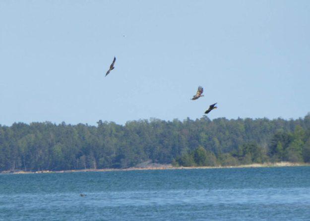 Cykla på Åland. Tre havsörnar i luften, samtidigt! Svinö