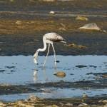 Flamingo. Fins beach