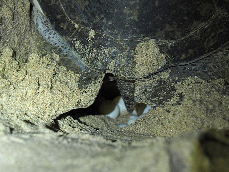 Grön sköldpadda. Ras al-Jinz