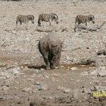 Spetsnoshörning och zebror. Etosha National Park