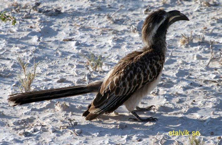 Näshornsfågel. Etosha National Park