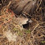 Vävarfågel. Etosha National Park