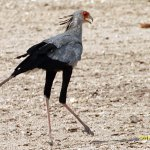 Sekreterarfågel. Etosha National Park