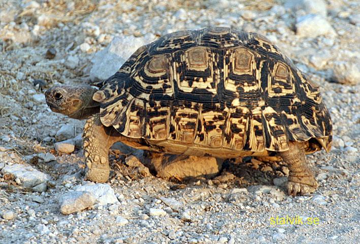 Sköldpadda. Etosha National Park