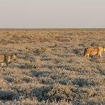 Lejon på jakt. Etosha National Park