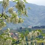 Blommande akacia. Montecatini Alto