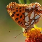 Fjäril. Azerbajdzjan