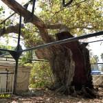 Hippokrates träd. Kos stad