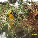 Vävarfågel