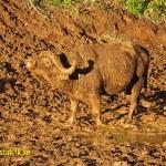 Afrikansk buffel. Mount Kenya