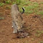 Afrikansk leopard