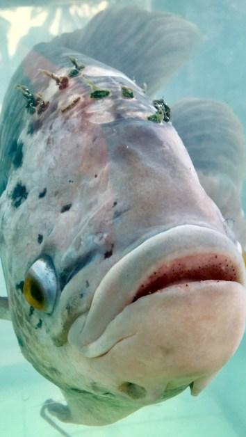 Ful Fisk!