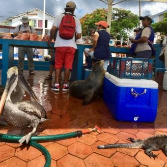 Fiskmarknad på Galapagos