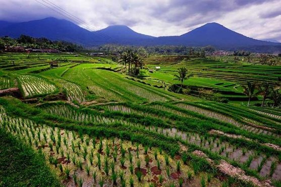 Image result for Jatiluwih Rice Fields