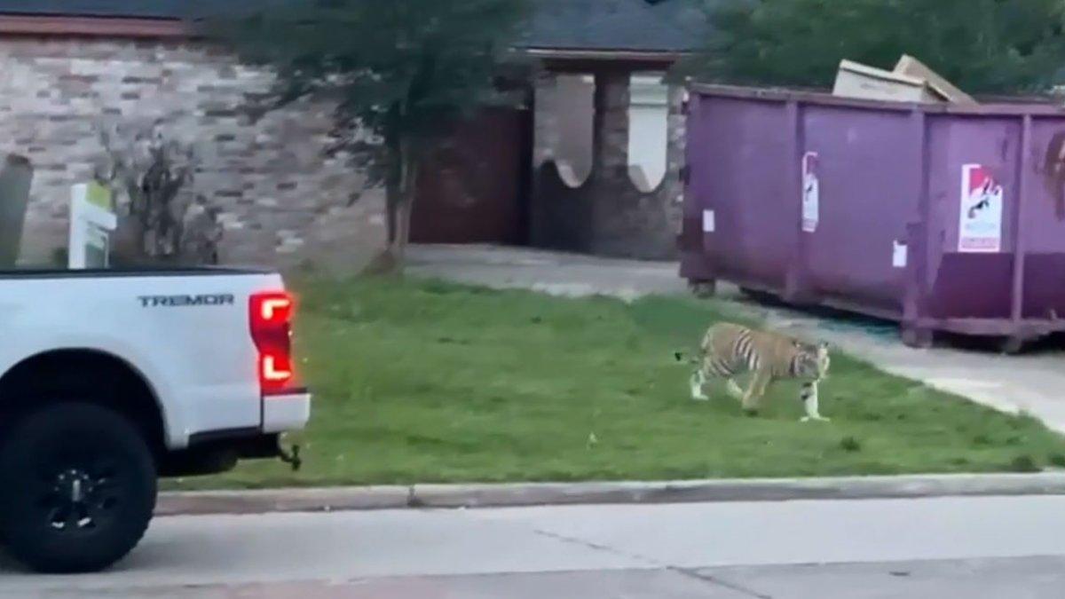 "Houston: encuentran al tigre ""India"" que había aterrorizado a vecindarios –  Telemundo Houston"