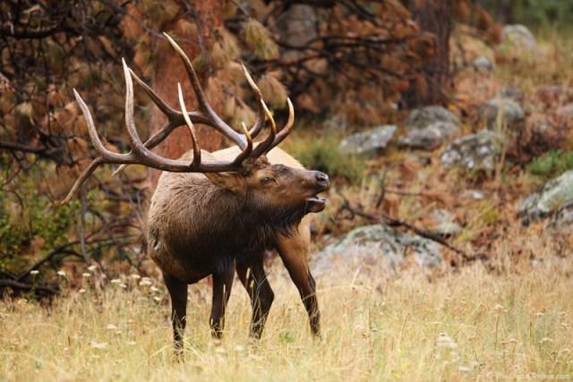 Beautiful Bull Elk, Rocky Mountain National Park