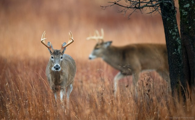 Communicating Threat, Whitetail Buck, Shenandoah National Park