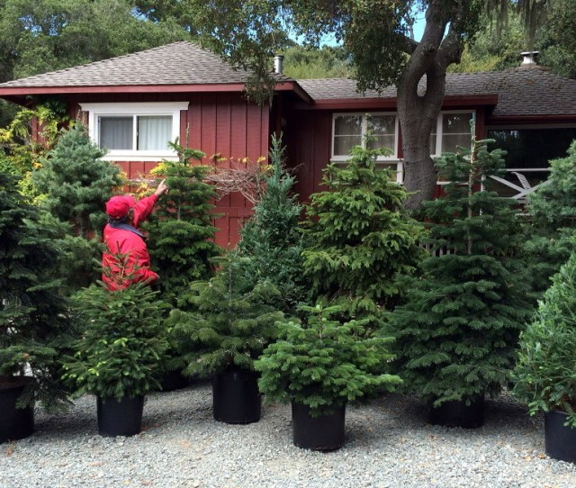 Rent A Living Christmas Tree
