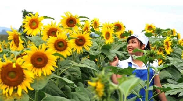 Hình ảnh Nữ chủ nhân nghìn tỉ của cánh đồng hoa hướng dương nổi tiếng Nghệ An số 3