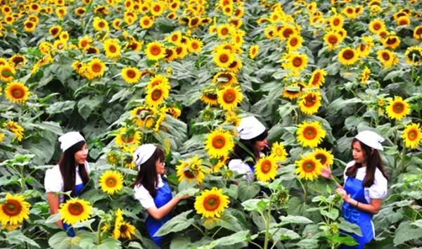 Hình ảnh Nữ chủ nhân nghìn tỉ của cánh đồng hoa hướng dương nổi tiếng Nghệ An số 2