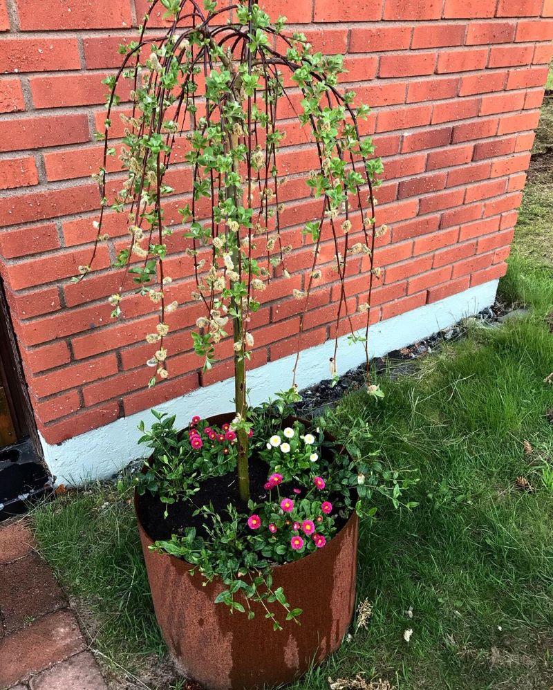 plantering i cortenkruka