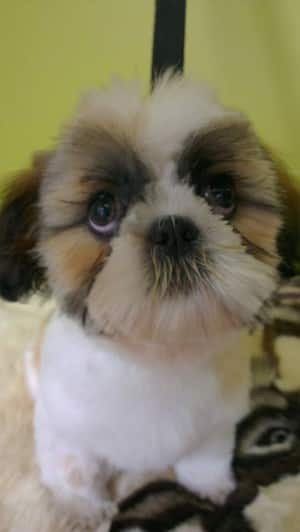 Yuppy Puppy Dog Grooming Services In Macleod Melbourne
