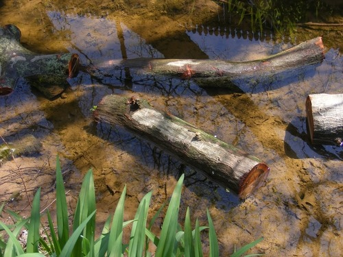 Shiitake Mushrooms- Inoculating the Oak Logs