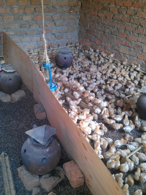 Brooder with separator for chicks vaccinated and those that are not