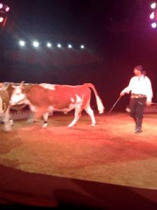 Un dompteur de vaches … Bienvenue en Belgique ( cirque Bouglione avec mes minots)