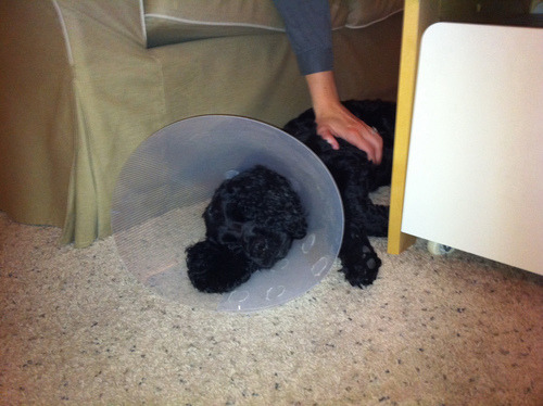 Max wears the Cone of Shame