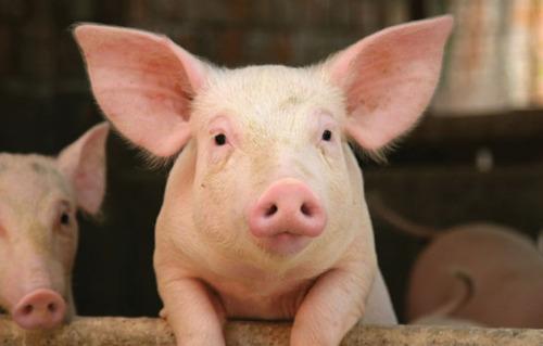 pig on a factory farm