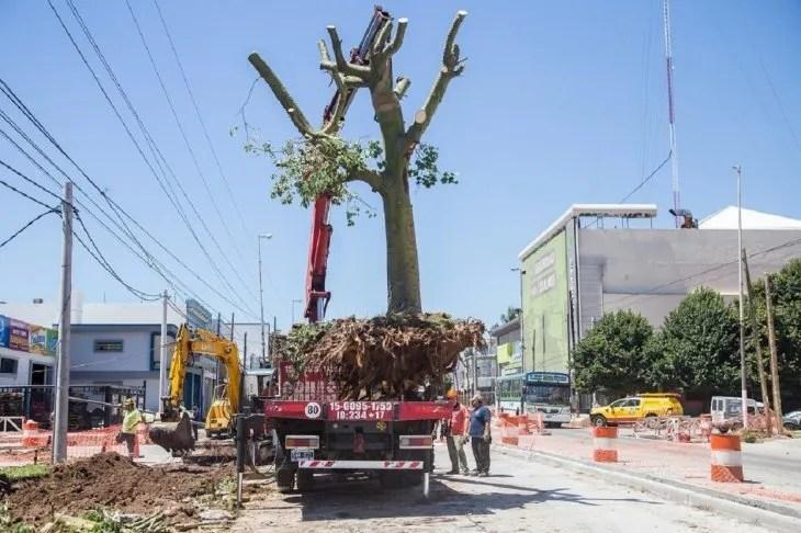 <p>Trasplante de árboles para obras del Metrobús de Quilmes, Buenos Aires.</p>