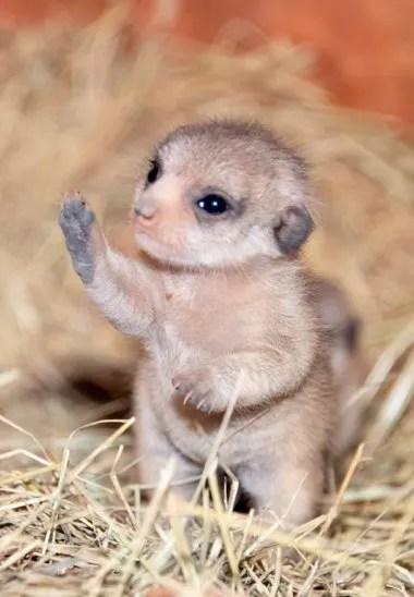 El zoológico a través de su sitio tiene una cámara web para los suricatas que permite que las personas observen a los pequeños mientras exploran su hábitat.