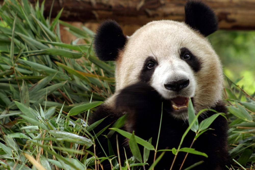 panda, jättepanda, pandor, jättepandor, Kina, resor, Kina resa, nära möten med pandor