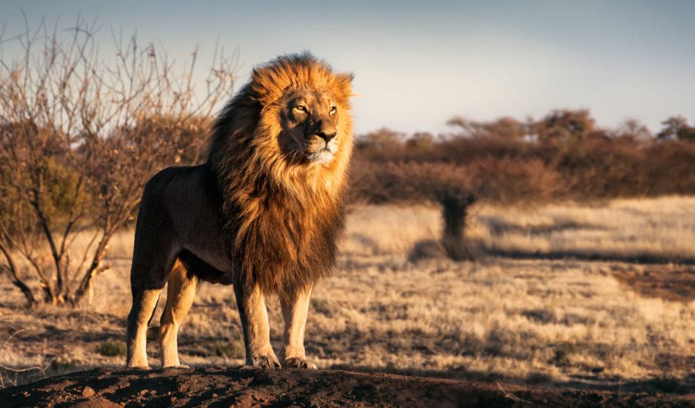 resor, resa, Sydafrika, nationalpark, safari, safari i Sydafrika, vilda djur, big five, lejon
