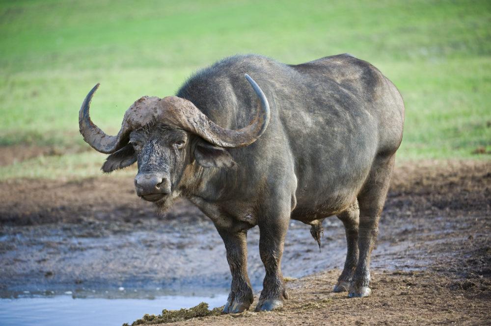 resor, resa, Sydafrika, nationalpark, safari, safari i Sydafrika, vilda djur, big five, afrikansk buffel