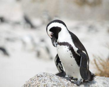 resor, resa, Sydafrika, Boulders Beach, sydafrikansk pingvin, pingviner, jackass penguins, fågel, fåglar, pingviner i Sydafrika