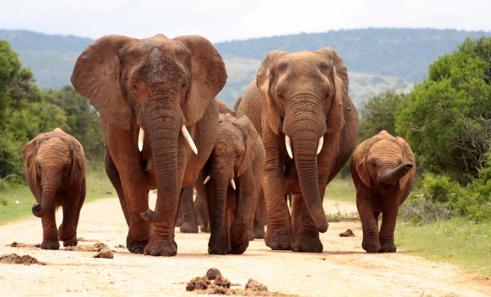 resor, resa, Sydafrika, nationalpark, safari, safari i Sydafrika, vilda djur, big five, afrikansk elefant