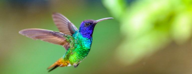 fåglar i Sydamerika, vilda fåglar, vackra paradisfåglar