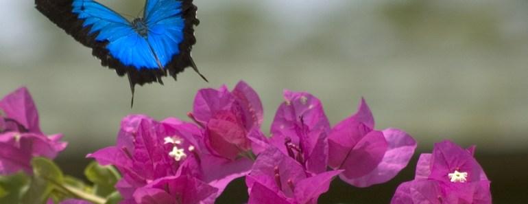 exotiska fjärilar, vackra fjärilar, fjärilar i Australien