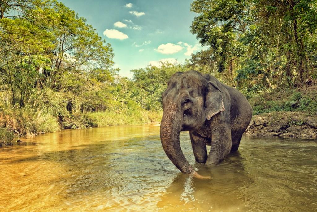 elefantarter, elefanter i Asien