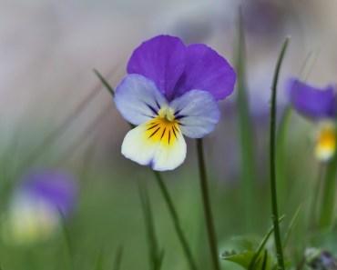 vanlig styvmorsviol, vild viol, vilda blommor i Sverige