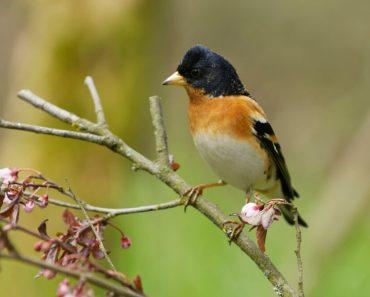 svenska småfåglar, fåglar i Sverige