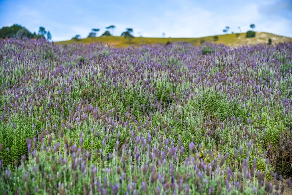 Lavendelfälten i Cunha, Brasilie