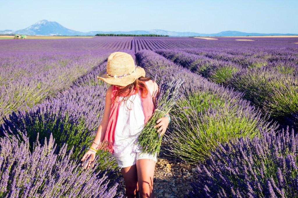 Lavendelfälten i Valensole, Provence