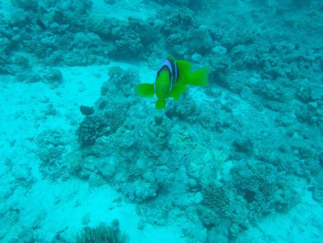 Clown fish - Nemo