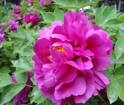 Kỹ thuật trồng cây hoa mẫu đơn khá phức tạp nhưng kết quả sẽ cho ra những chậu hoa đẹp, bắt mắt