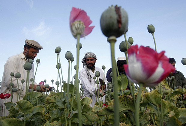Afghan farmers work at a poppy field in Jalalabad province May 5, 2012.